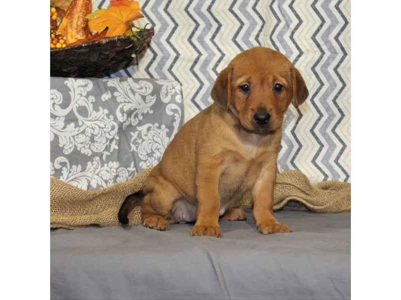 Shar-Pei/Beagle-DOG-Female-Red Fawn-1925802-Petland Dalton