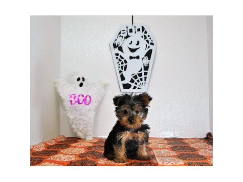 Yorkshire Terrier-Male-Black / Tan-1925811-Petland Dalton