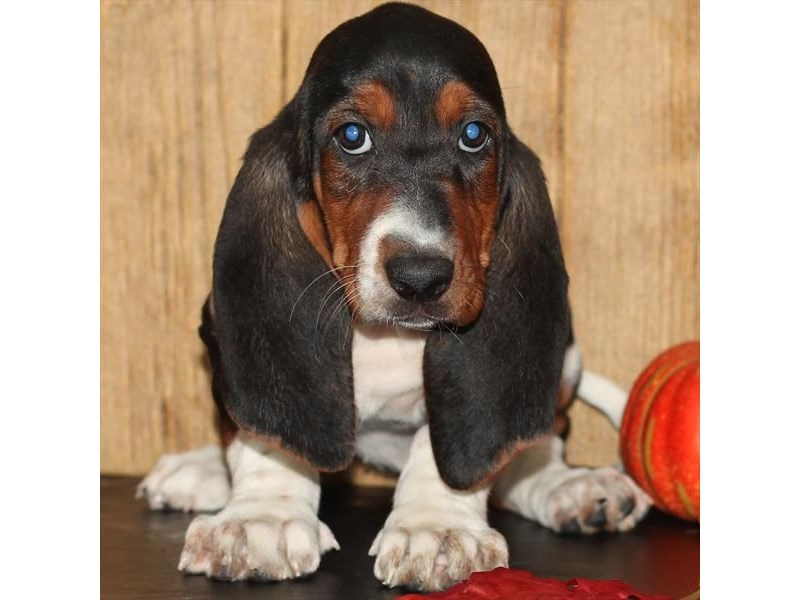 Basset Hound-DOG-Female-Black White / Tan-1926077-Petland Dalton
