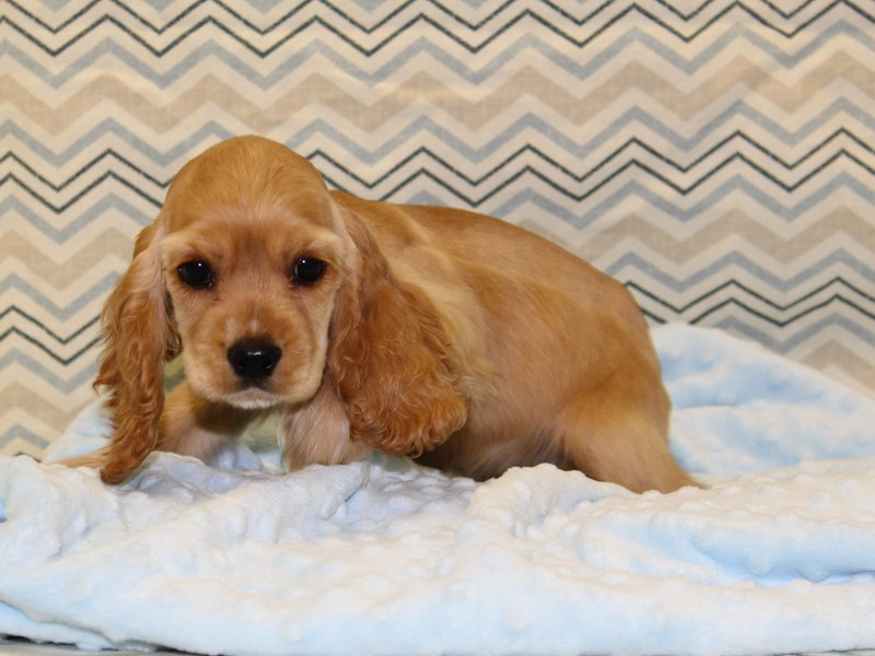 Cocker Spaniel-Male-Golden-1925231-Petland Dalton