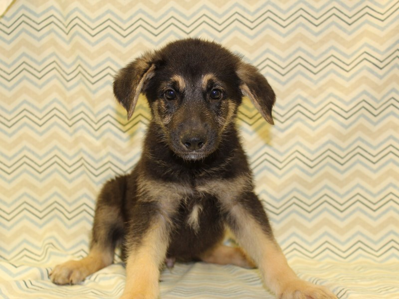 German Shepherd-Male-Black and Tan-1925425-Petland Dalton