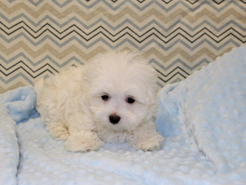 Maltese-Male-white-1925832-Petland Dalton