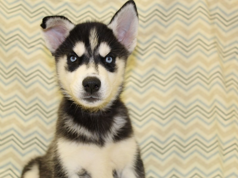 Siberian Husky-DOG-Male-Black / White-1931201-Petland Dalton
