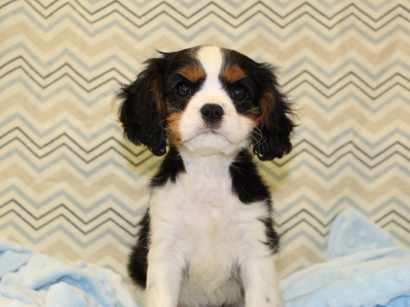 Cavalier King Charles Spaniel-Female-Black White / Tan-1936359-Petland Dalton