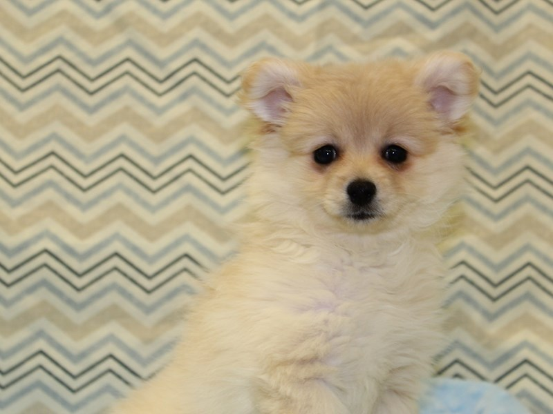 Pomeranian-DOG-Female-Cream-1935142-Petland Dalton