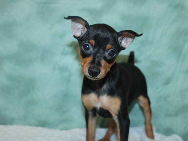 Miniature Pinscher-Female-Black / Rust-2623256-Petland Dalton