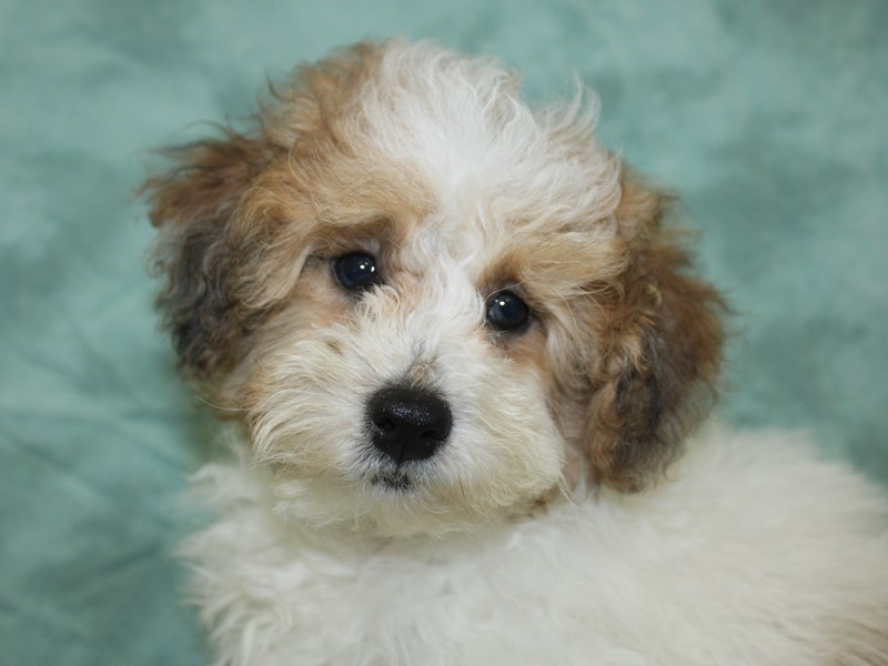 Poodle-Male-Sable / White-2630374-Petland Dalton