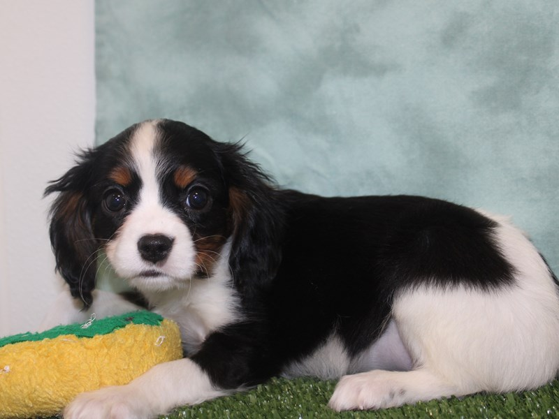 Mini Bernese-DOG-Female-Tri-2632053-Petland Dalton