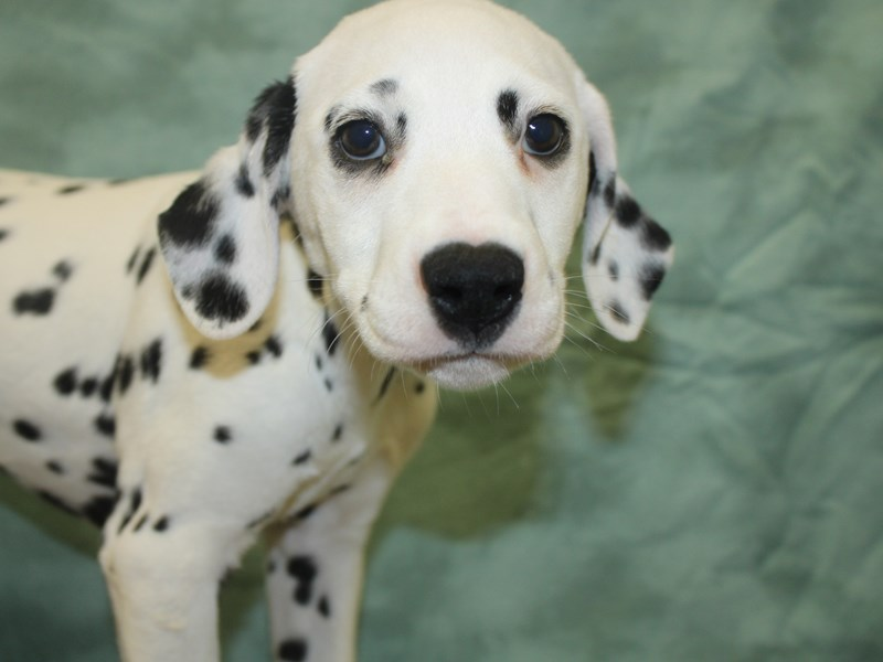 Dalmatian-Female-White / Black-2647579-Petland Dalton