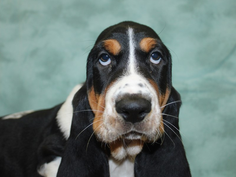 Basset Hound-Male-Tri-Colored-2646014-Petland Dalton
