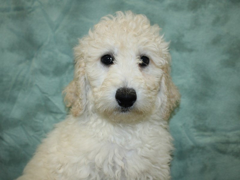 Goldendoodle 2nd Gen-Female-Cream-2646010-Petland Dalton