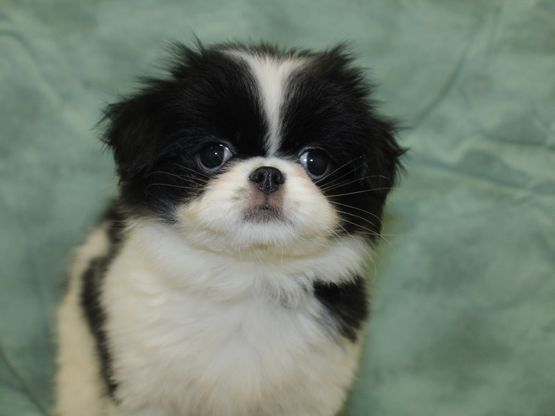 Japanese Chin-DOG-Female-Black / White-2646008-Petland Dalton