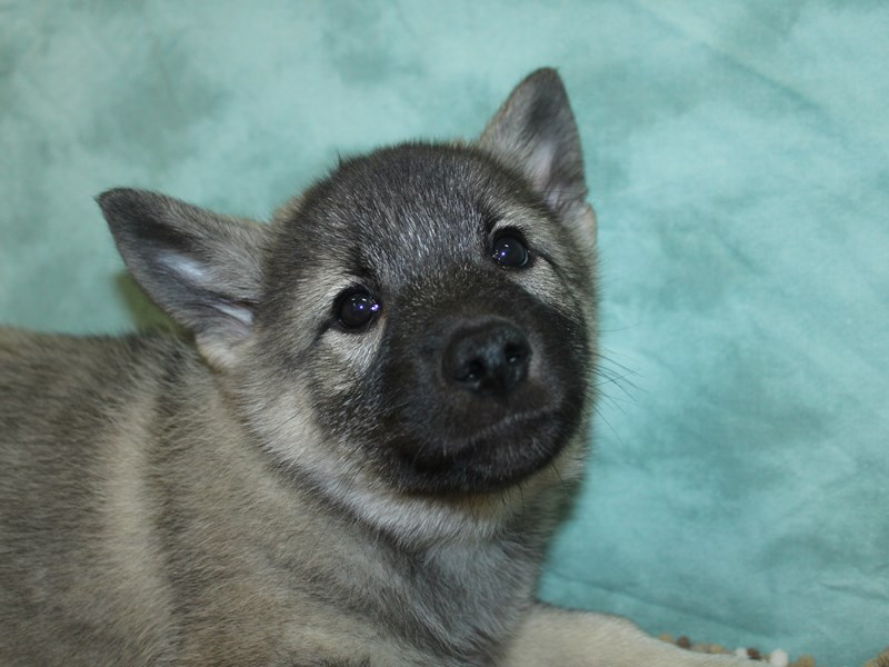 Norwegian Elkhound-Female-Black / Silver-2660438-Petland Dalton