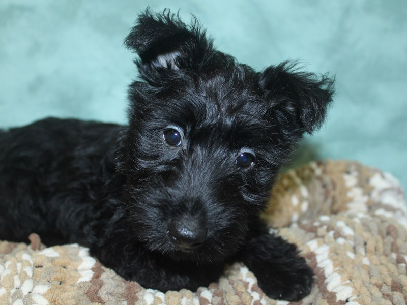 Scottish Terrier-Female-Black-2660437-Petland Dalton