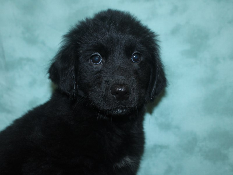 Goldendoodle-Female-black-2661215-Petland Dalton