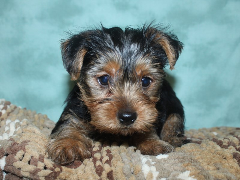 Yorkshire Terrier-Male-BLK TAN-2660953-Petland Dalton