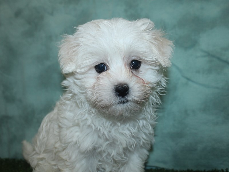 Maltese-Male-WHITE-2667608-Petland Dalton