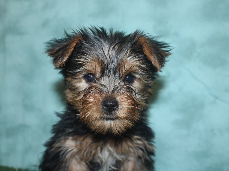 Yorkshire Terrier-Female-BLK TAN-2667549-Petland Dalton