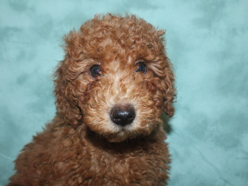 Miniature Goldendoodle-Male-Red-2667420-Petland Dalton