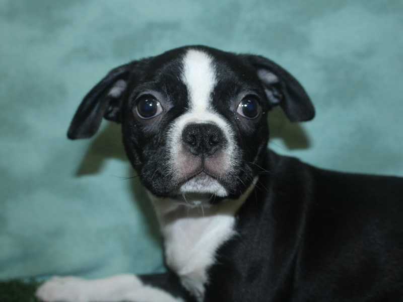 Boston Terrier-Female-BLK WHITE-2673711-Petland Dalton