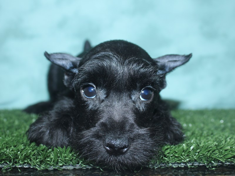 Miniature Schnauzer-DOG-Male-BLACK-2673615-Petland Dalton