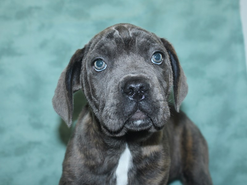 Cane Corso-DOG-Female-Blue Brindle-2672137-Petland Dalton
