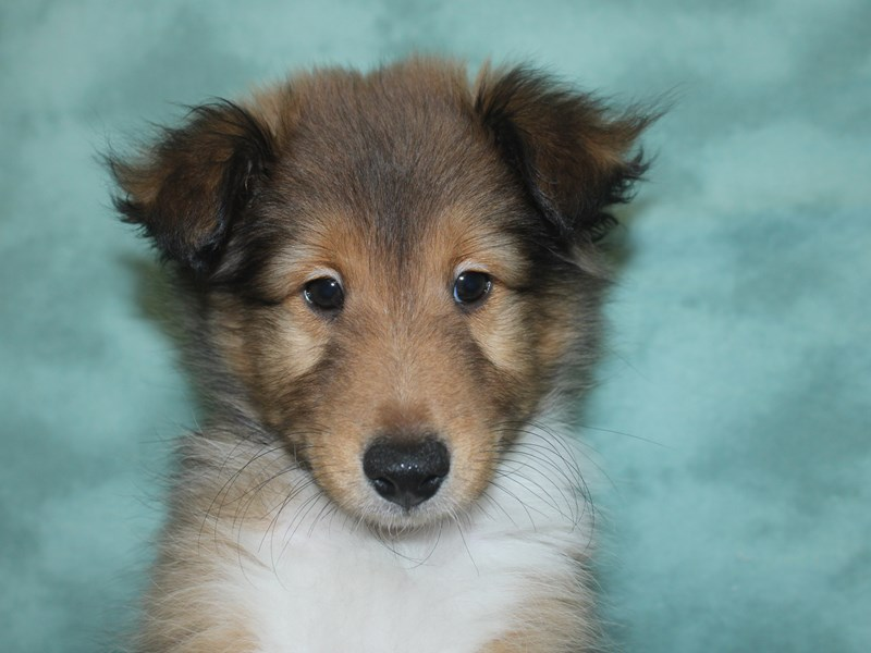 Shetland Sheepdog-Male-Sable / White-2672131-Petland Dalton