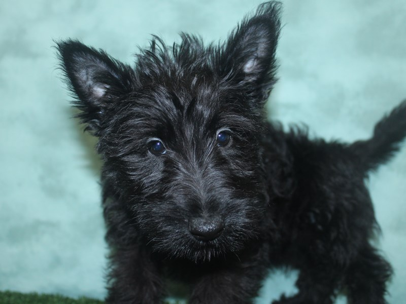 Scottish Terrier-Female-Black-2672135-Petland Dalton