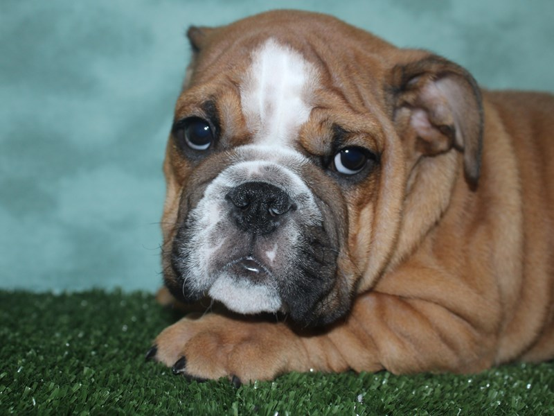 Bulldog-Male-Red / White-2672134-Petland Dalton