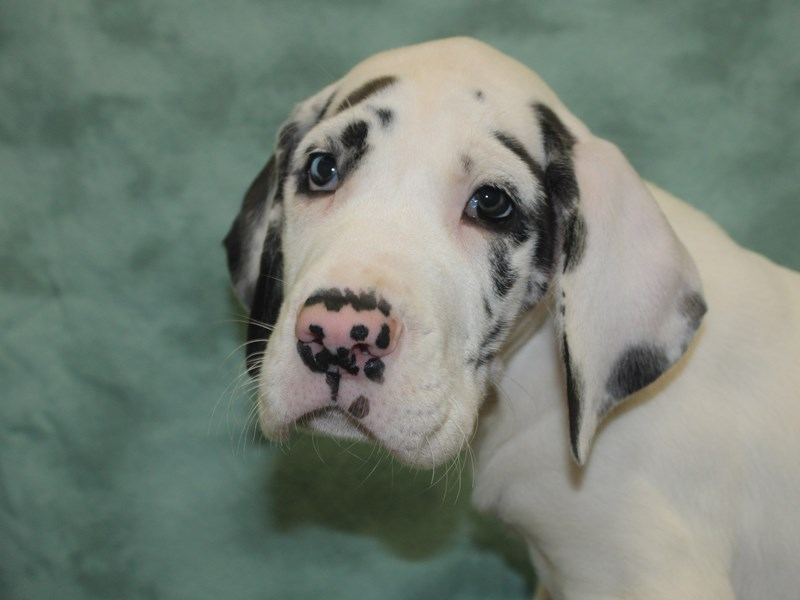 Great Dane-DOG-Male-Black / White-2685665-Petland Dalton