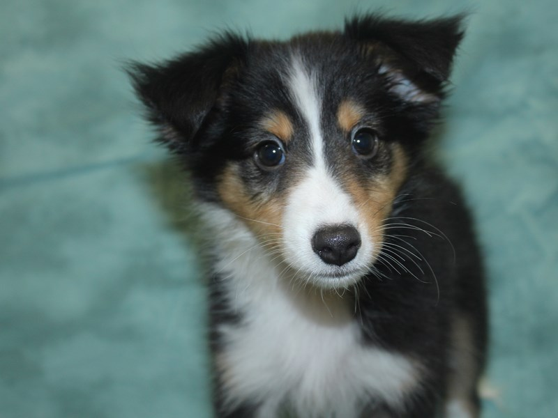 Shetland Sheepdog-DOG-Female-Black / White-2685660-Petland Dalton
