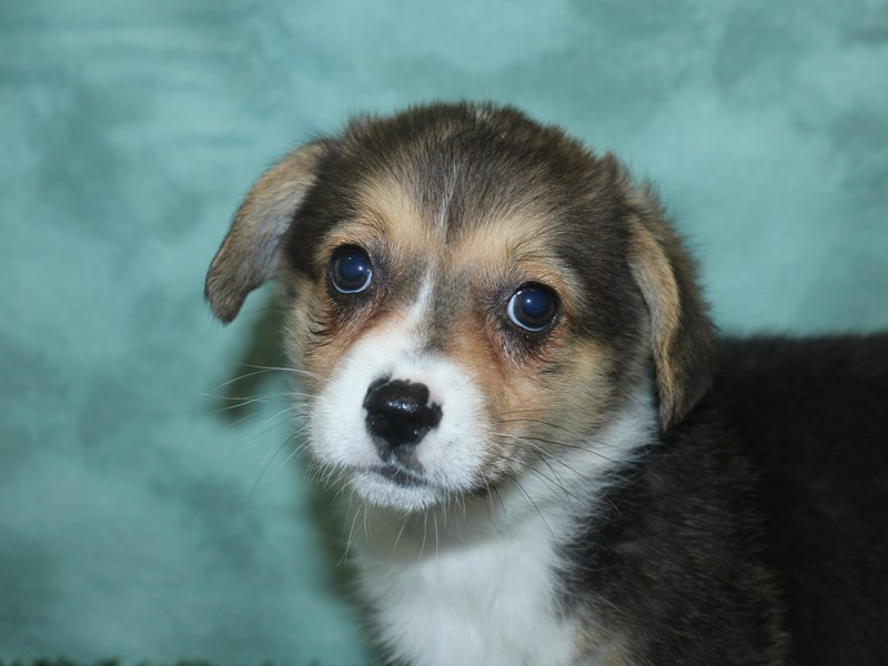 Pembroke Welsh Corgi-Female-Black and Tan-2688313-Petland Dalton