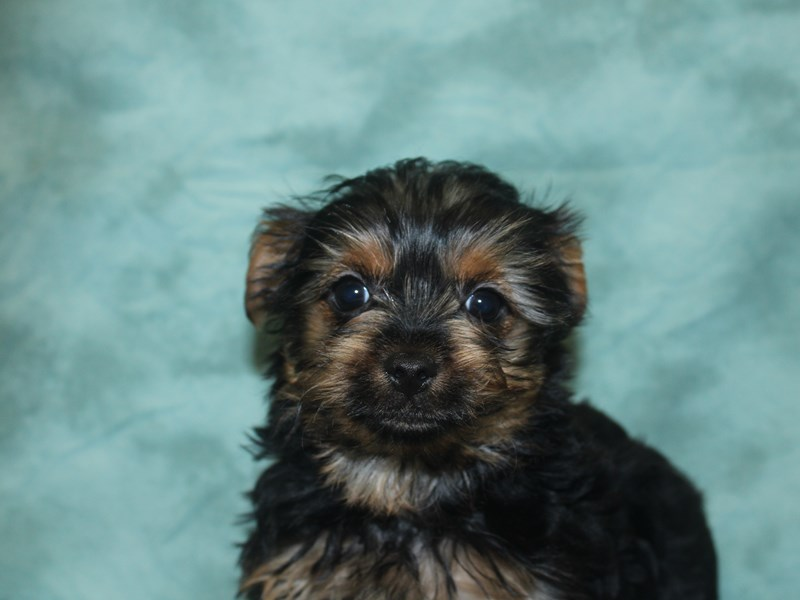 Yorkshire Terrier-Male-BLK TAN-2686806-Petland Dalton