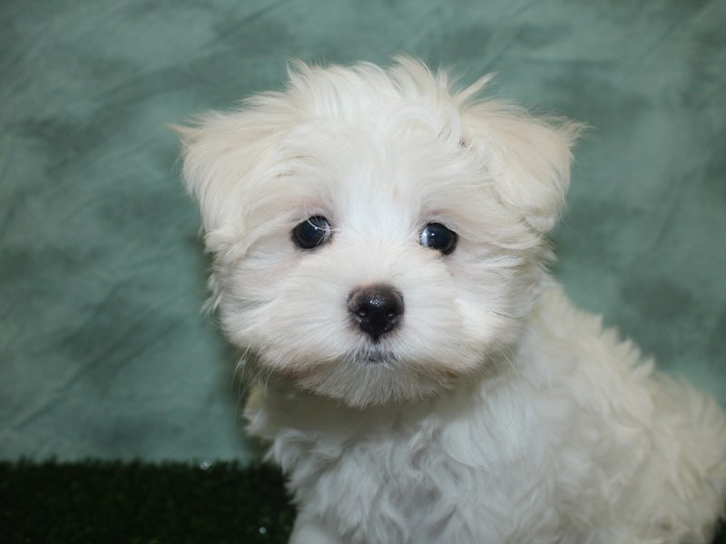 Maltese-Female-White-2692795-Petland Dalton