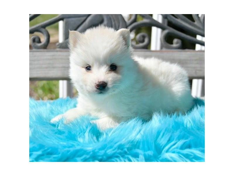 Pomsky-Male-Cream-2678812-Petland Dalton