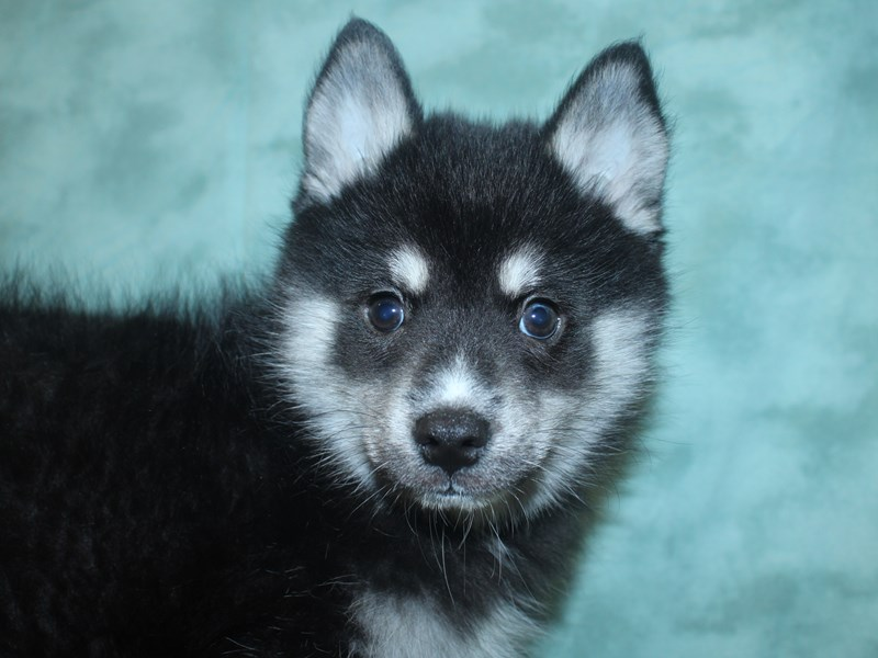 Pomsky-Male-Black / Tan-2692794-Petland Dalton