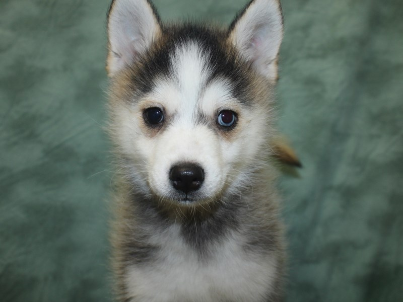 Pomsky-Male-Gray / White-2692793-Petland Dalton