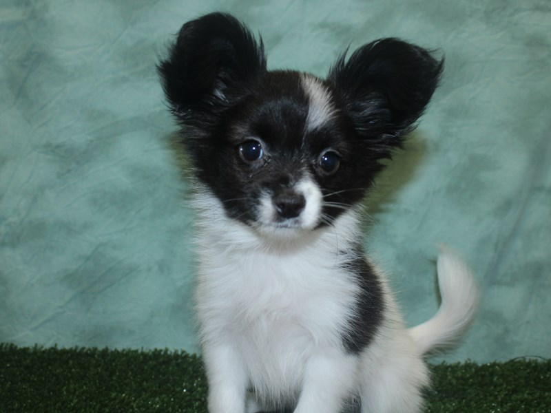 Papillon-Male-Black / White-2692789-Petland Dalton
