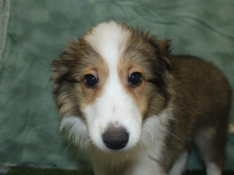Shetland Sheepdog-Female-Sable and White-2694338-Petland Dalton