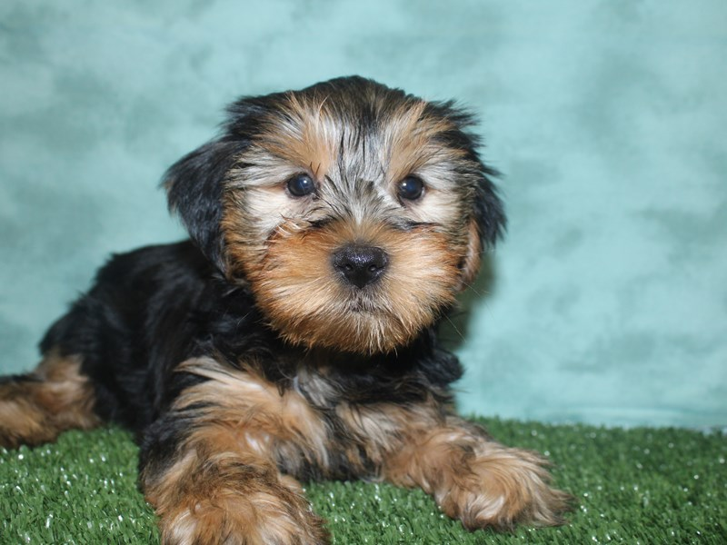 Yorkshire Terrier-Male-BLK TAN-2693377-Petland Dalton