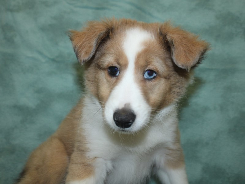 Shetland Sheepdog-Male-Sable Merle and White-2694339-Petland Dalton