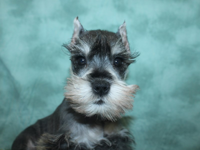 Miniature Schnauzer-Female-SALT PEPPER-2693453-Petland Dalton
