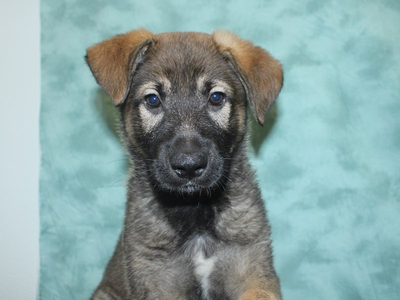 German Shepherd-Male-Sable-2693489-Petland Dalton