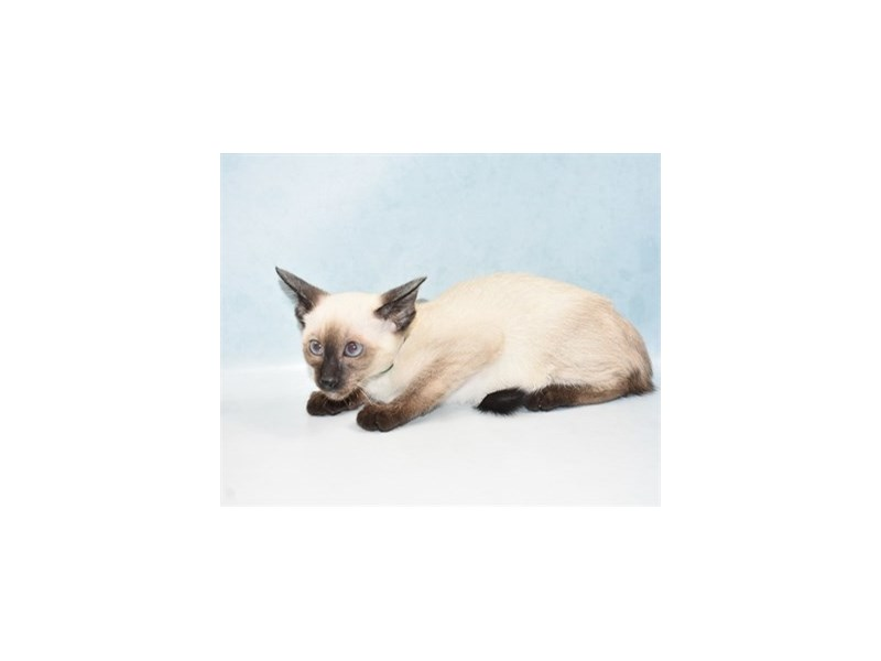 Siamese-Male-Seal Point-2700283-Petland Dalton