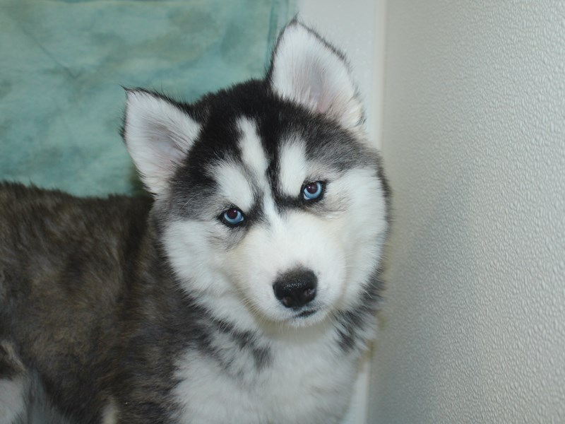 Siberian Husky-Female-Black Grey and White-2700268-Petland Dalton