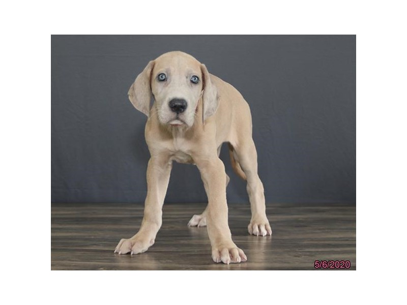 Great Dane-Female-Blue Fawn-2705669-Petland Dalton