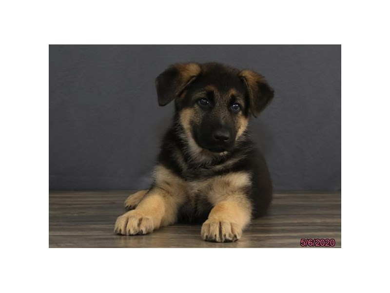 German Shepherd Dog-DOG-Male-Black / Tan-2705671-Petland Dalton