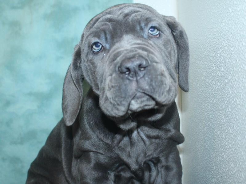 Neapolitan Mastiff-DOG-Male-Blue-2705675-Petland Dalton