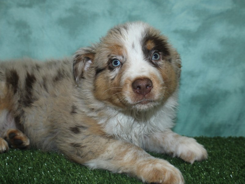 Australian Shepherd-DOG-Male-Red Merle-2706695-Petland Dalton