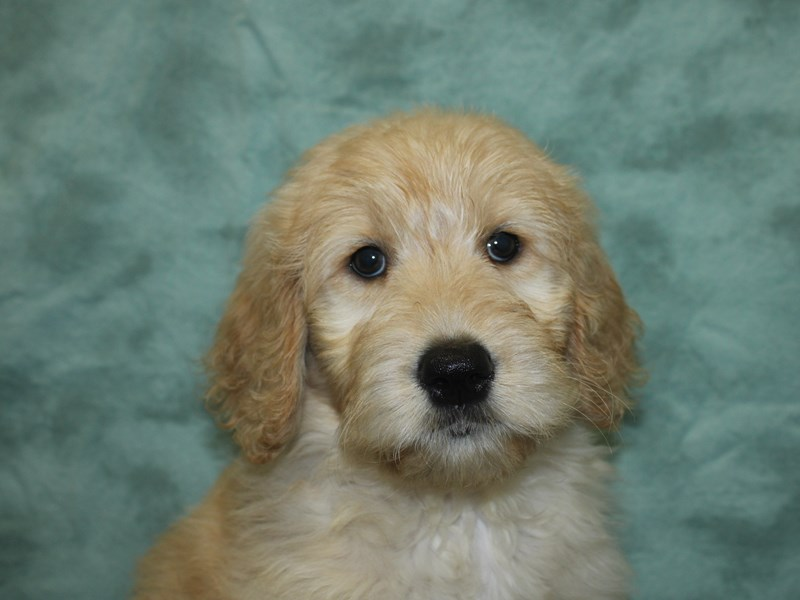 Goldendoodle-Female-Golden-2706654-Petland Dalton